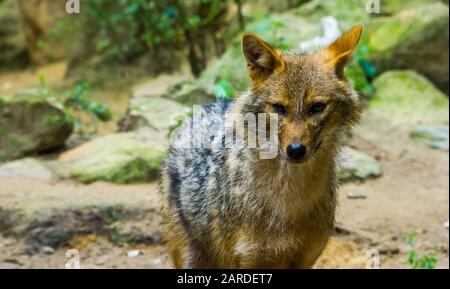 Goldener Schakal in Nahaufnahme, Wildhundespezialitäten aus Eurasien - Stockfoto