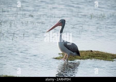 Great White Pelican, Pelecanus onocrotalus, Watting in Water, Standing, Yala National Park, Sri Lanka
