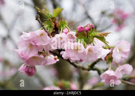 """Prunus """"Auszeichnung"""". Kirschblüte in einem englischen Garten. - Stockfoto"""