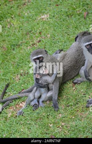 Vervet-Affen auf dem Rasen, Umdloti, Nordküste von Kwa Zulu-Natal, Südafrika. - Stockfoto