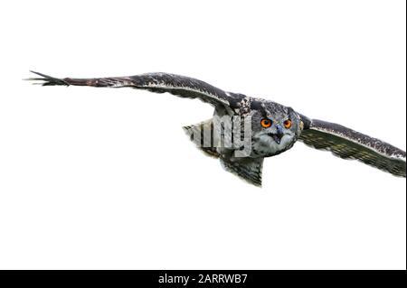 Nahaufnahme der eurasischen Adler-Eule/der europäischen Eule (Bubo bubo) im Flug vor weißem Hintergrund - Stockfoto