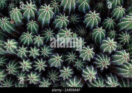 Eng gruppierte Äste von Euphorbia Echinus, einem in Marokko heimischen, kaktusartigen Strauch, von der Spitze aus gesehen. - Stockfoto