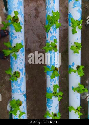 Hydroponische Herstellung von organischem Salat - Stockfoto