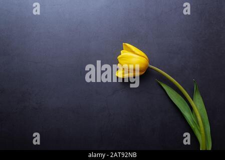 Eine schöne gelbe Tulpe in Nahaufnahme gegen eine dunkelblau-graue Stuckwand - Stockfoto