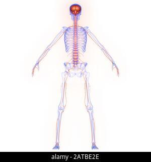 Menschliches internes Organhirn mit Röntgen-3D-Rendering Für Die Anatomie Des Nervensystems - Stockfoto