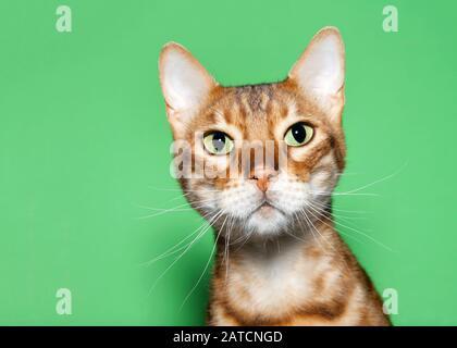 Nahaufnahme des Porträts einer liebenswerten orangen und braunen bengalischen Katze, die mit neugierigem Ausdruck auf den Betrachter blickt. Grüner Hintergrund mit Kopierbereich.