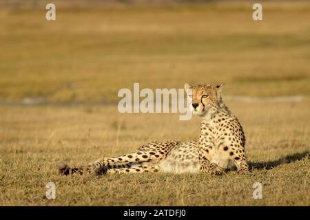 Gepard (Acinonyx jubatus) Porträt, auf Savanne, Ngorongoro Schutzgebiet, Tansania liegend. - Stockfoto