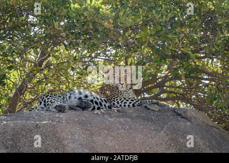Leopard (Panthera pardus) liegt auf einem Felsen im Schatten, Serengeti National Park, Tansania. - Stockfoto