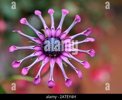 Nahaufnahme der rosafarbenen Spinne osteospermum Blume auf einem wunderbaren bunten Bokeh-Hintergrund - Stockfoto