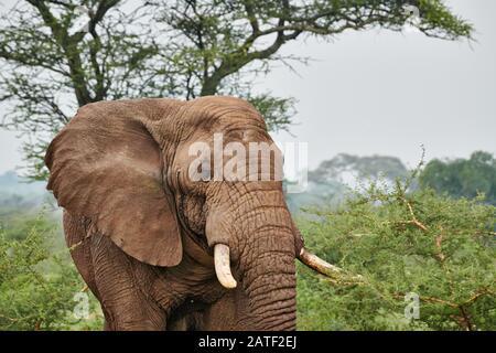 Aggressiver afrikanischer Busch-Elefant Loxodonta africana im Tarangire National Park, Tansania, Afrika