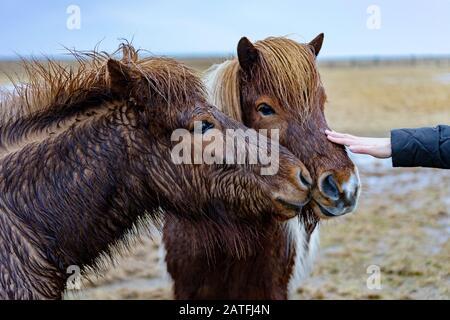 Touristen sind rund um isländische Pferde in der Natur in Island - Stockfoto