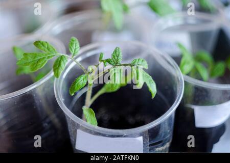 Gewächshaus mit kleinen Tomatenpflanzen. Anbau von Bio-Tomatensprossen in Torftöpfen, Onzept des Gartenbaus und der landwirtschaftlichen Plantage. Eg - Stockfoto