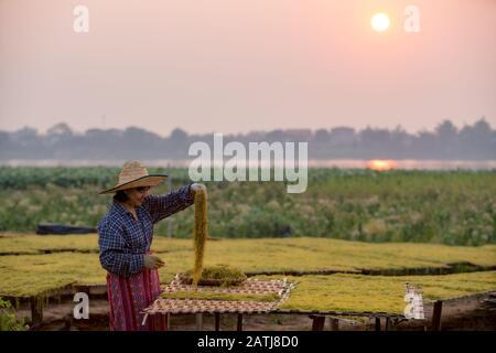 Thailändische Junglandwirte pflanzten Tabakblätter, lächelten glücklich mit den Produkten, die er in der Gegend bei Sonnenaufgang des Distrikts Tha Bo, Nong Khai, hatte - Stockfoto