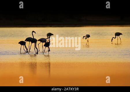 Greater Flamingo - Phönicopterus roseus die am weitesten verbreitete und größte Flamingo-Familie, die in Afrika, Indien, dem Nahen Osten und im Süden vorkommt - Stockfoto