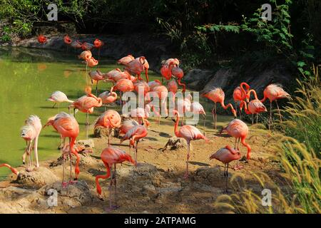 Flamingos in Wasser - Stockfoto