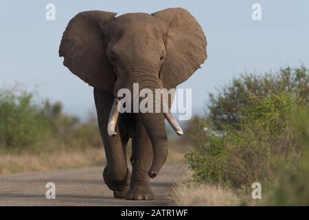 Elefant in der Wildnis Afrikas - Stockfoto