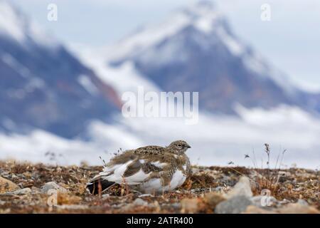 Rock-Ptarmigan (Lagopus muta / Lagopus mutus) weiblich auf der Tundra im Herbst, Spitzbergen, Norwegen