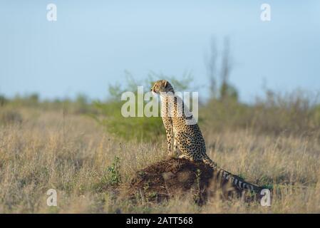 Gepard in der afrikanischen Wildnis - Stockfoto