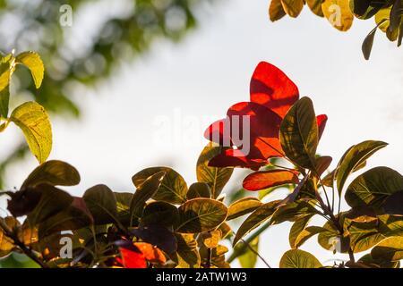 Grüne und rote Blätter, die von der Sonne beleuchtet werden Stockfoto