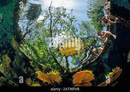 Süßwasserschildkröte (Trachemys scripta venusta) Schwimmen unter Den Seerosenblättern, Gran Cenote, in der Nähe von Tulum, Quintana Roo, Yucatan-Halbinsel, Mexiko. - Stockfoto