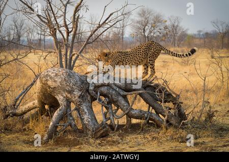 Gepard (Acinonyx jubatus) streckt sich an einem entkesseln Baum. Simbabwe. September. - Stockfoto