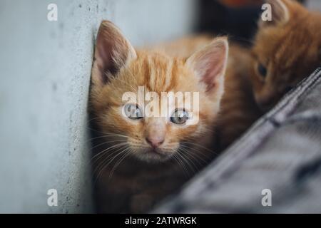 Kleine orangefarbene blauäugige Katze - Stockfoto