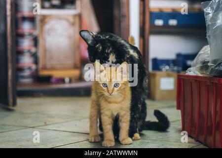 Mutterkatze säubert orangefarbene Babykätzchen - Stockfoto