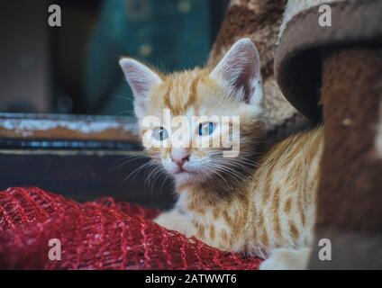 Süße orangefarbene, blauäugige Katze - Stockfoto