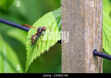 Cicada Hunter (Killer) Wasp (Sphecius speciosus) auf einem grünen Himbeerblatt in einem Heimatgarten. - Stockfoto