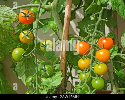 Nahaufnahme von zwei Trussen von Sungold Tomaten, die im Sommer bei Sonnenschein im englischen Garten reifen - Stockfoto