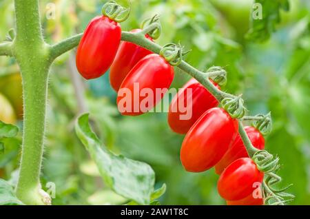 Nahaufnahme der Traufe von Babyplaumen Santonio Tomaten, die im Sommer bei Sonnenschein im englischen heimischen Gewächshaus reifen, England Großbritannien - Stockfoto
