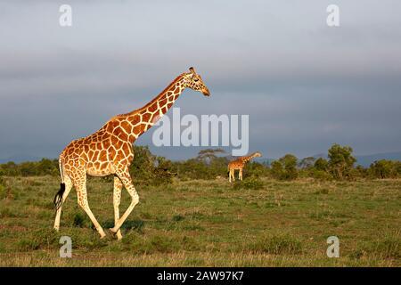 Retikulierte Giraffen in Kenia, Afrika - Stockfoto