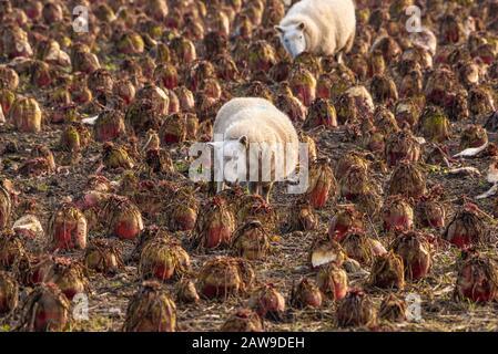 Wetherby, North Yorkshire, Großbritannien. Februar 2020. Am letzten ruhigen Tag weideten Schafe auf einer winterlichen Wurzelernte in der Nähe von Wetherby North Yorkshire, bevor der Sturm Ciara in Großbritannien eintrifft. Kredit: John Eveson/Alamy Live News - Stockfoto