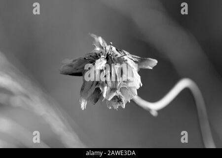 Schwarz-Weiß-Blumenporträt im frostigen Winter - Stockfoto