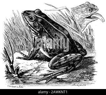 Speisefrosch, Rana esculenta, W. Aarland u. a. Sohn u. a. A. Lütke (Zoologiebuch, 1894) - Stockfoto