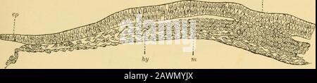 Ein System der Geburtshilfe . Querschnitt des Embryos von Küken durch den Primitiven Streifen, der Blastoderm ist von aboutdem Alter, das in Schwein dargestellt wird. 21 (von Balfour). Der Abschnitt passiert das Akimiddle des primitiven Streifens: pr.s, primitiver Streifen; ep, Epiblast; hy, Hypoblast. DIE FRÜHEN ENTWICKLUNGSSTUFEN. 107 deckt sich mit der langen Achse des zukünftigen Embryos. Der Embryo, wie immer, entwickelt sich ganz vor dem primitiven Streifen, dem vorderen Ende Abb. 23... Abb. 24. Vertikaler Querschnitt durch Primitiven Streifen Des Sich Entwickelnden Hühnereides, nach den Laterauswucherungen des Mesobls - Stockfoto
