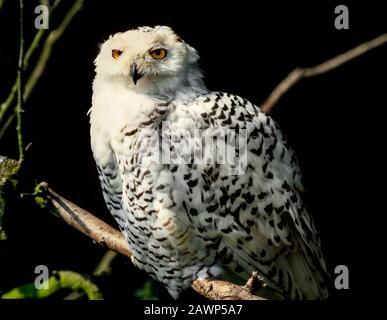 Snowy Owl, Bubo scandiacus, Arctic Tundra & Northern Isles - Stockfoto