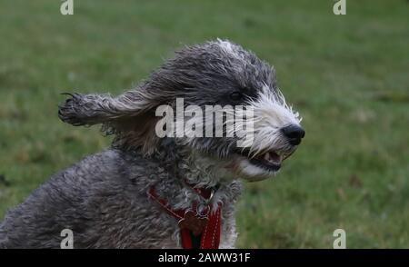 Peterborough, Großbritannien. Februar 2020. Cookie der Kakapfoehund hat ihr Fell von Storm Ciara geblasen, als es am 9. Februar 2020 auf Peterborough, Cambridgeshire, Großbritannien, trifft. Credit: Paul Marriott/Alamy Live News - Stockfoto