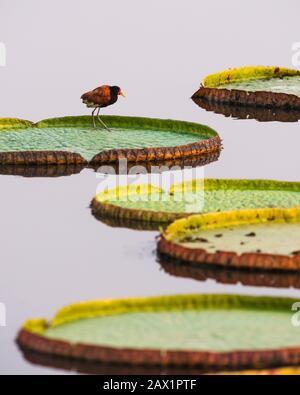 Ein Wattled Jacana steht auf einer schwimmenden Giant Water Lilly im Pantanal - Stockfoto