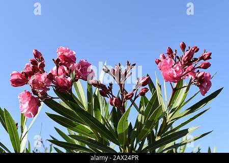 Rosa blühender Oleander-Busch, der sich gegen den hellblauen Himmel, Maspalomas, Gran Canaria, Kanarische Inseln stellt - Stockfoto
