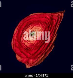 Rote Butterpflaumenblüte surrealistisches Makro, edle Kunst Stillleben einer einzigen isolierten Blüte, detaillierte Textur, dunkelblauer Hintergrund, Vintage-Malstil - Stockfoto