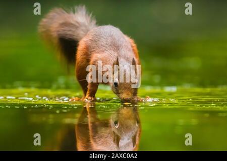 Schöne Eurasischen red Squirrel, Sciurus vulgaris, Trinken und die Nahrungssuche im Wasser mit Reflexion. Wald die Tierwelt, selektiver Fokus, natürliches Sonnenlicht. - Stockfoto