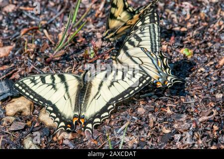 Kanadischer Tigerschwalbenschwanz, Papilio canadensis, Schmetterlinge, die an einem Flecken feuchten Bodens in Neufundland, Kanada, zusammenkommen. Stockfoto