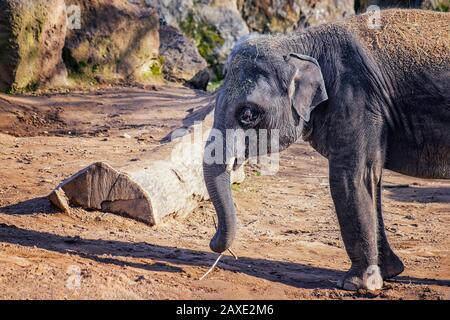 Nahaufnahme des niedlichen Baby-Elefanten. Der asiatische Elefant, auch asiatischer Elefant genannt. Trunk hält einen Ast und isst ihn. Die Art ist verbreitet - Stockfoto