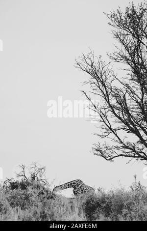 Ein vertikaler Graustufenschuss einer einsamen Giraffe auf einem Hügel in der Nähe eines grünen Baumes - Stockfoto