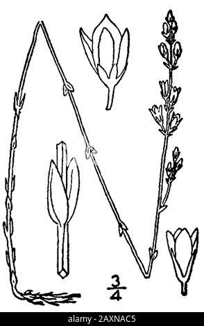 'Bartonia virginica; 1913; Eine illustrierte Flora der nördlichen Vereinigten Staaten, Kanadas und der britischen Besitzungen. Mit freundlicher Genehmigung der Kentucky Native Plant Society.; Nathaniel Lord Britton (1859-1934) und A. Brown; '