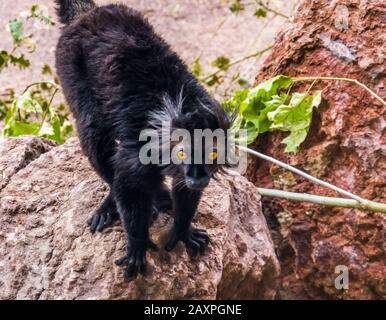 Nahaufnahme eines männlichen schwarzen Lemurs, tropischer Primas aus madagaskar, verletzlicher Tierspezie - Stockfoto
