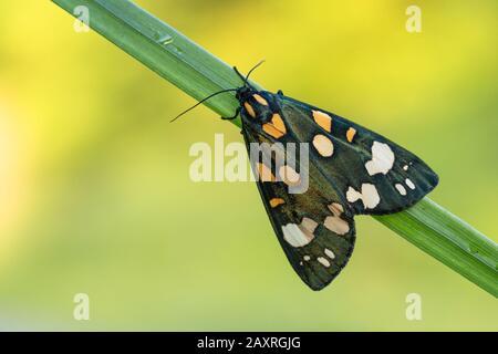 Scharlachrote Tiger-Motte Callimorpha dominula in Tschechien - Stockfoto