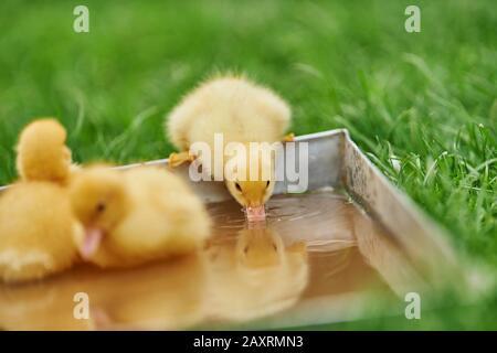 Duckling, Muscovy Duck, Cairina moschata, Wasserfall, sitzend - Stockfoto