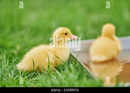 Ducklings, Muscovy Duck, Cairina moschata, Water Rine, sitzend - Stockfoto